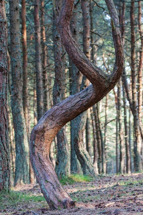 forest  tree  pine