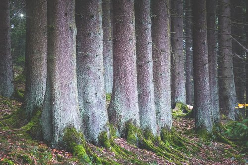 forest  trees  spruce
