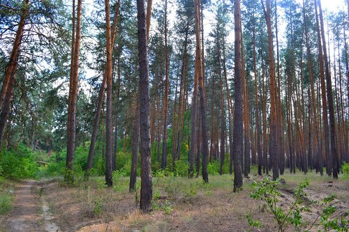 forest  pine  nature