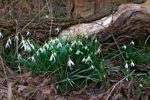 forest  spring  snowdrop