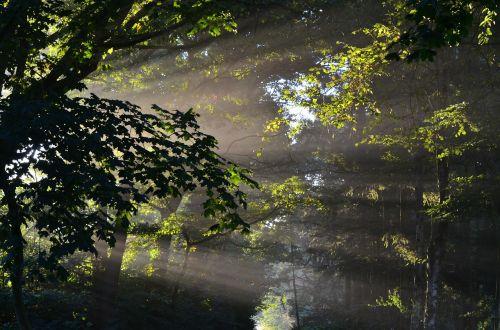 forest sunbeam trees