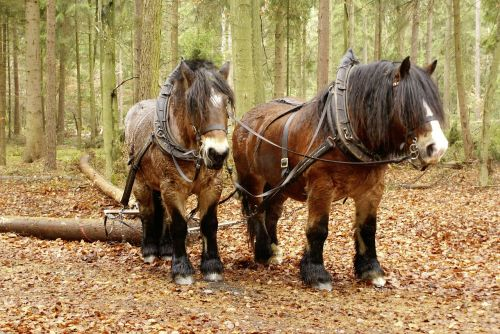 forest forestry rueckepferde