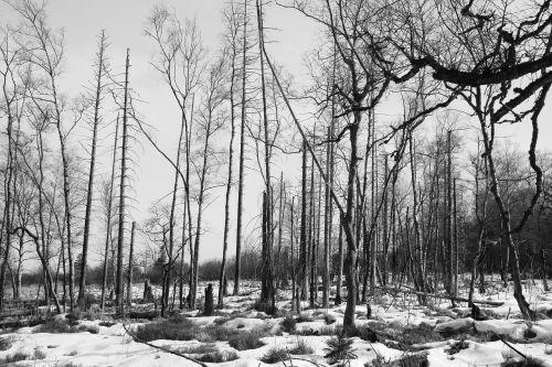 forest trees waldsterben
