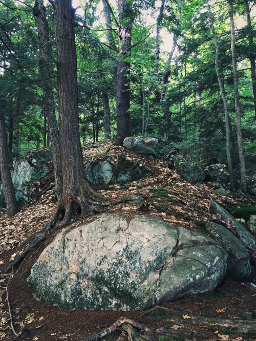 forest roots rock