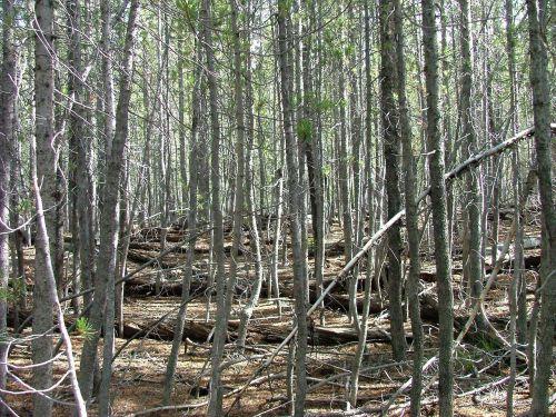 forest trees dense