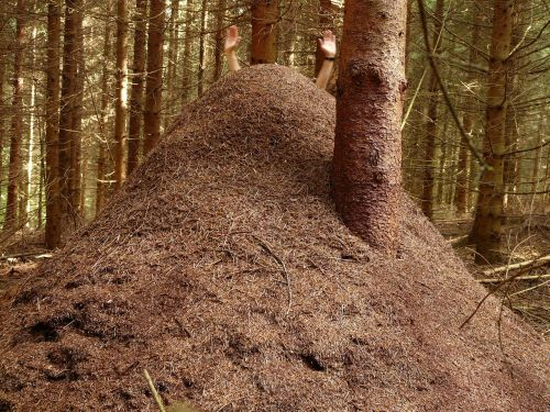 forest ant hill huge hill wood ants
