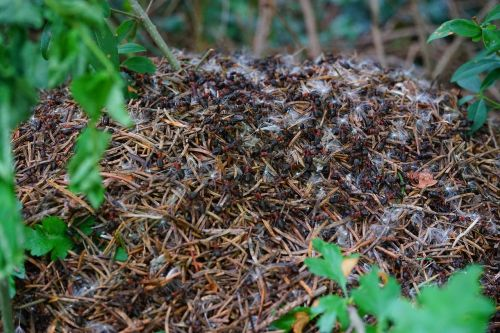 forest ant hill wood ants formica polyctena