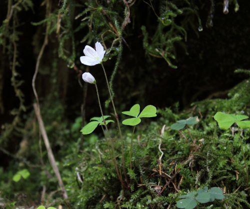 forest clover common wood sorrel blossom