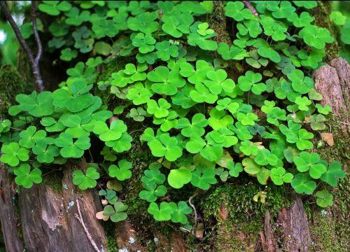 forest clover klee sorrel