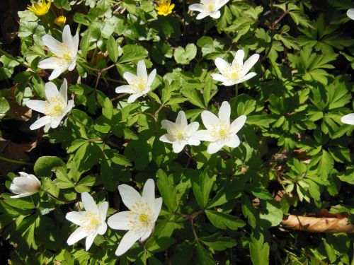 forest floor spring wood anemone