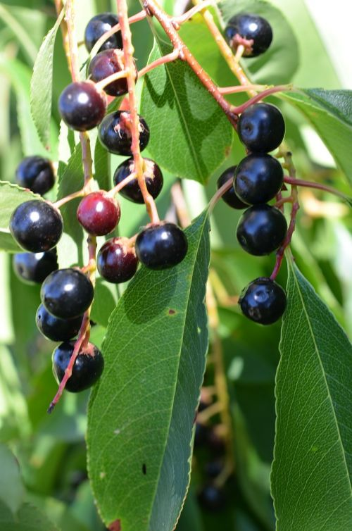 forest fruit berries fruits