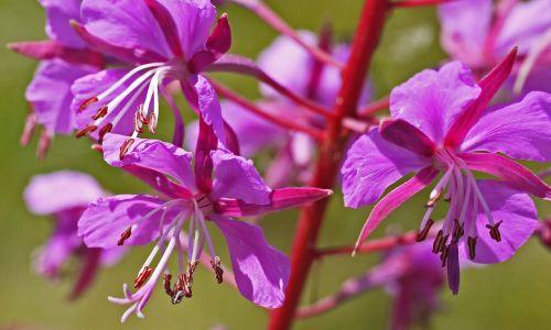 forest perennial flowers purple