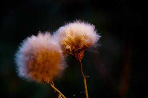 miško augalas,skraidančios sėklos,dirvožemio augalas,kiaulpienė,balta,apie,augalas,Uždaryti,boll,ruduo,laukinė gėlė,išblukęs