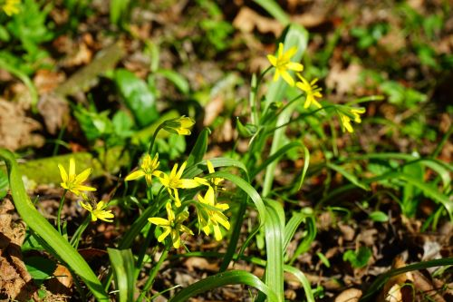forest - yellow star gagea lutea blossom