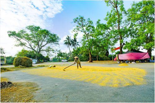 forestry road hanoi grain drying