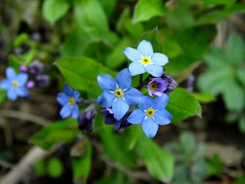 forget me not blue forget me not bloom