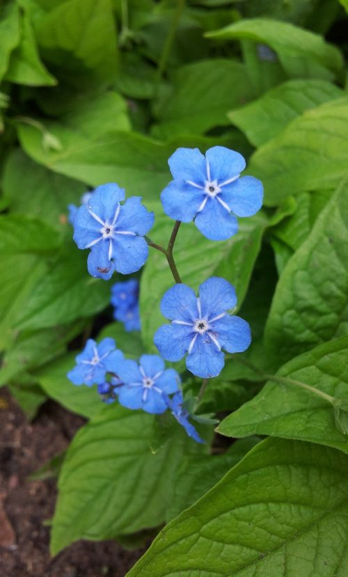 forget me not blue sky blue