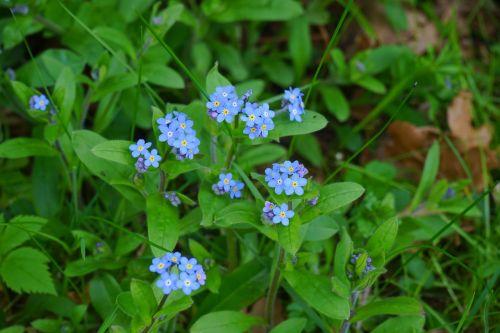 forget me not myosotis flower