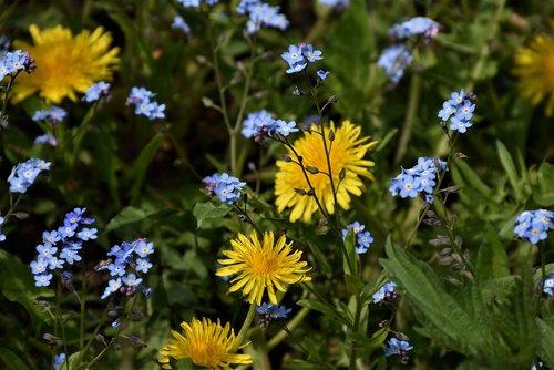 forget me not  dandelion  flower meadow