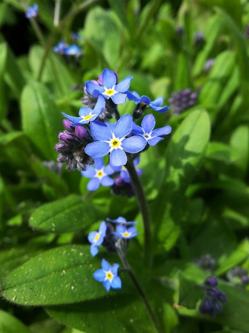 forget me not  flower  nature