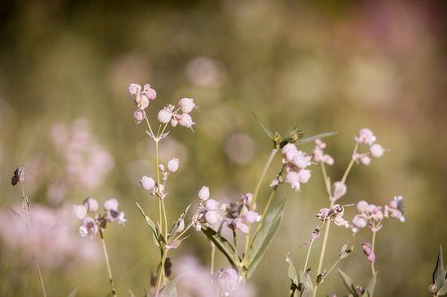 forked catchfly silene dichotoma flower