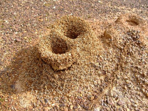 formicary anthill ants
