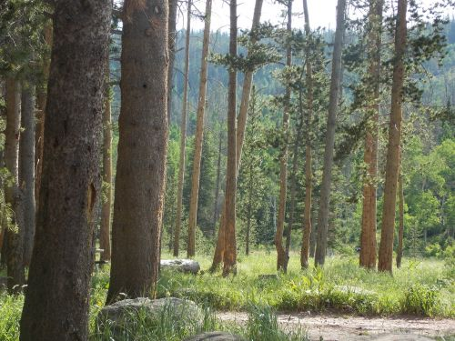forrest pines nature