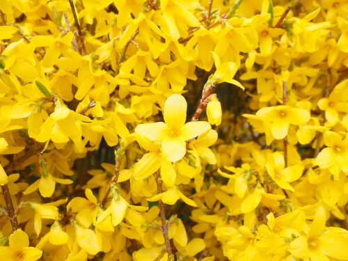 forsythia flowers yellow