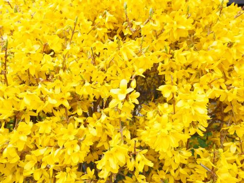 forsythia blossoms branches yellow