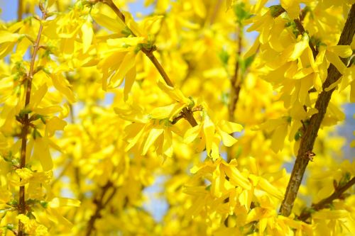 forsythia gold lilac flower