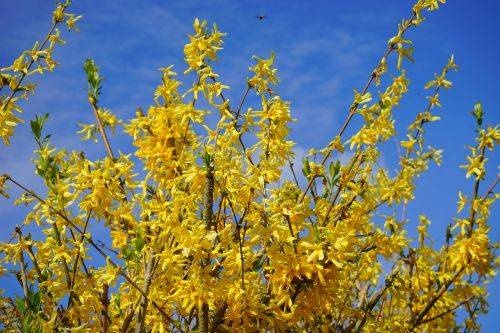 forsythia aesthetic branches