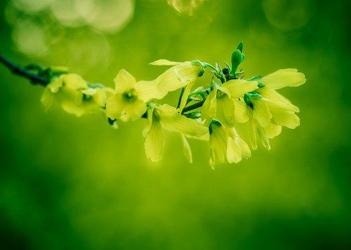 forsythia  yellow bush  yellow flowers