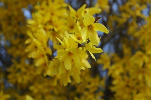forsythia  yellow flowers  yellow