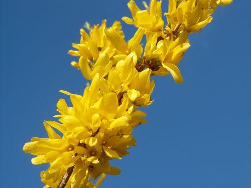 forsythia spring blossom