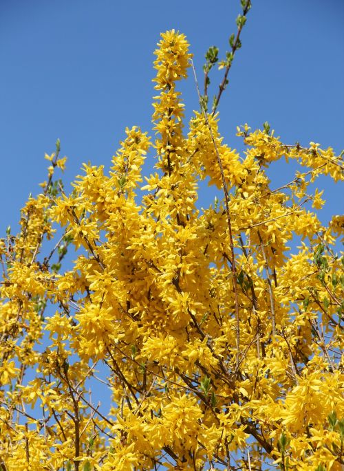 forsythienbusch in bloom early driving