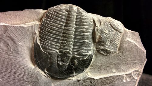 fossil trilobites collectibles