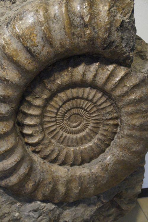 fossil snail ammonit