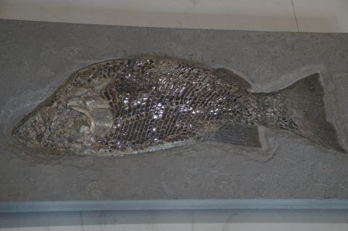 fossil fossils fish