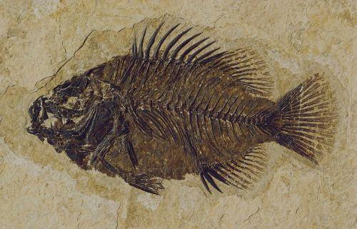 fossil fish cockerellites liops