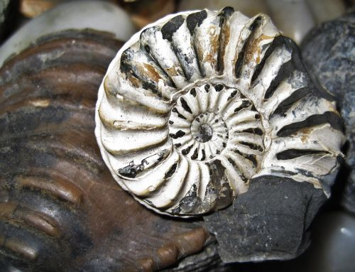 fossil nautilus fossil petrification