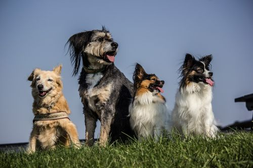 four dogs pack papillon