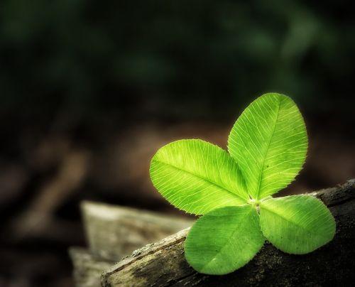 four leaf clover luck clover