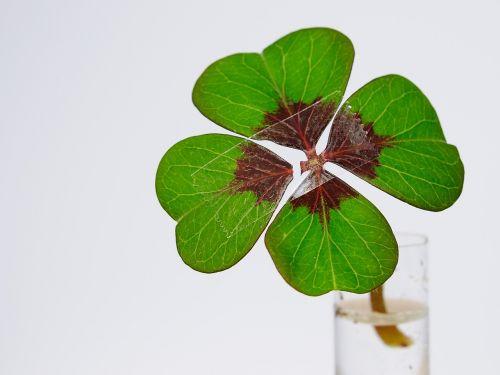 four leaf clover luck nachgeholfen