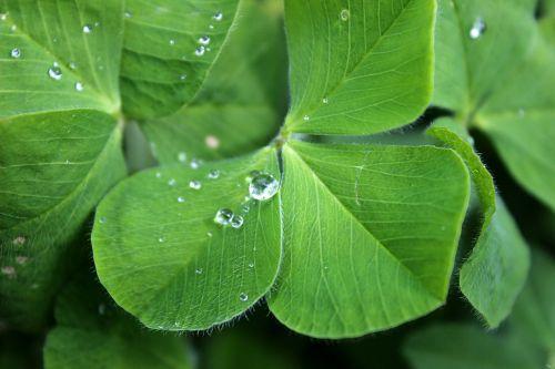four leaf clover luck green
