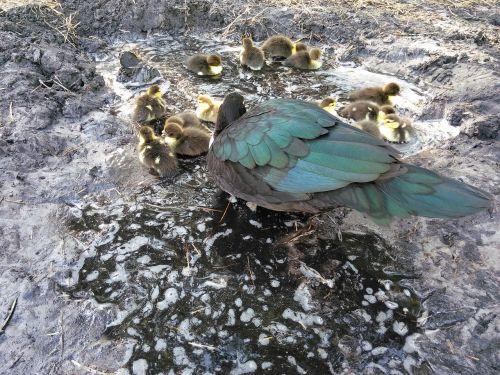 fowl duck ducklings
