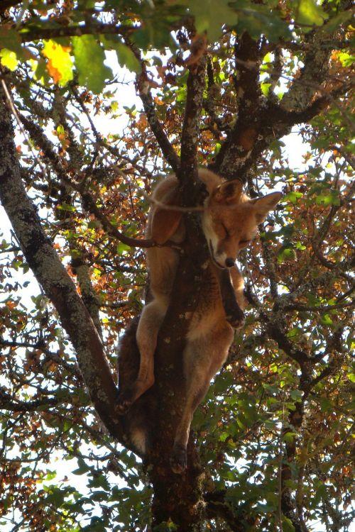fox nap tree