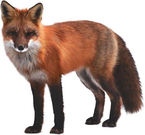 fox mammal wildlife