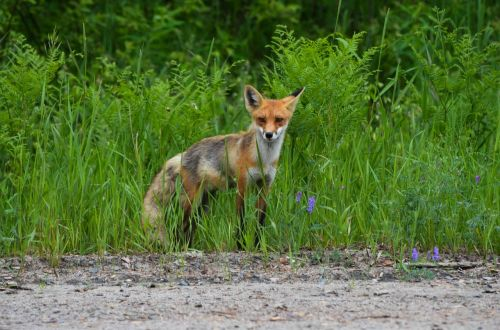 fox red fox wild