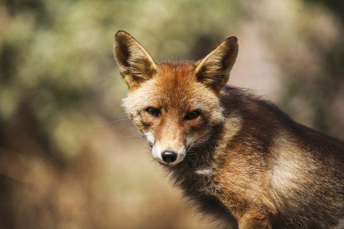 fox frontal dump