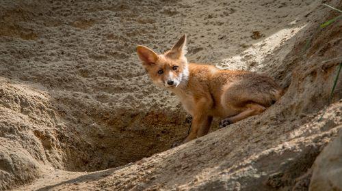 fox red fox vulpes vulpes